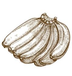 engraving bananas vector image
