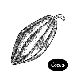 hand drawn sketch style cocoa bean vector image