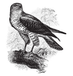 Snake buzzard also called a short toed eagle vector