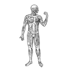 human anatomy muscular and bone system male body vector image