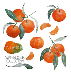 Tangerine watercolor collection vector