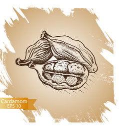 cardamom culinary seasoning vector image