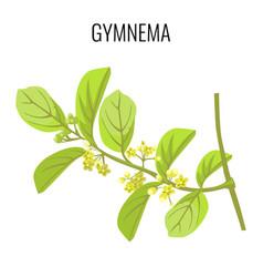 gymnema ayurvedic medicinal herb isolated on white vector image vector image