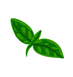Fresh green basil leaves vector