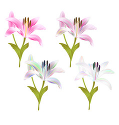 Stem lily flower pink and multi colored lilium vector