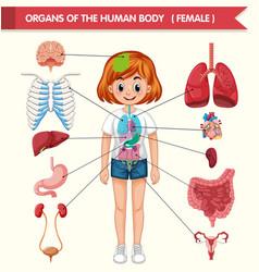Scientific medical organs human body vector