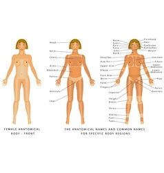 Female body Front vector image vector image