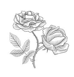 Vintage drawing flower of rose vector