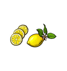 sketch lemon with leaves flower and slices vector image