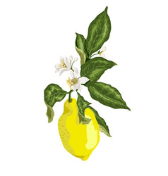 A branch of lemon tree with yellow citrus fruit vector