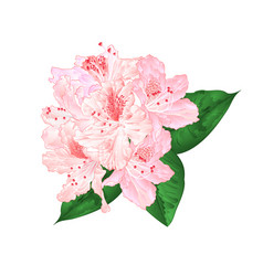 flowers light pink rhododendron with leaves on vector image