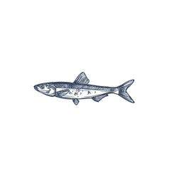 Anchovy small forage fish isolated sketch drawing vector