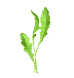 Salad rocket vector image