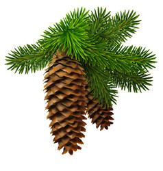 a branch of fir with two cones high detailed vector image