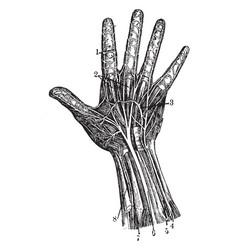 Hand nerves vintage vector