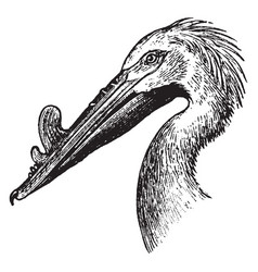 Rough billed pelican vintage vector