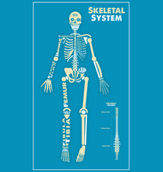 skeletal system poster didactic board of anatomy vector image