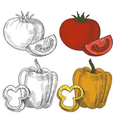 Black and white and color sketch tomatoes and vector