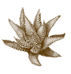 Engraving antique aristaloe vector