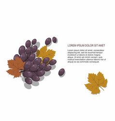 blue grapes on white background vector image