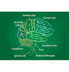Green chalkboard brain anatomy vector