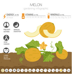 Melon beneficial features graphic template vector