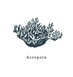 acropora coral drawing of sea vector image