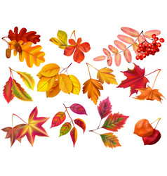 autumn leaf maple fall leaves fallen foliage and vector image