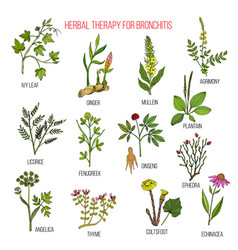 Herbal therapy for bronchitis ivy ginger mullein vector