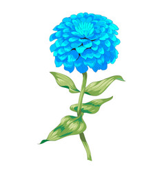 Beautiful blue flower zinnia isolated on white vector