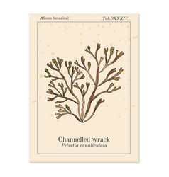 Channelled wrack pelvetia canaliculata seaweed vector