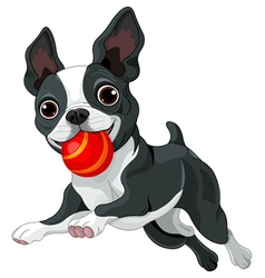 Boston Terrier Holds Ball vector image vector image