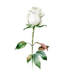 single white rose isolated on white background vector image vector image
