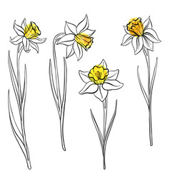 Drawing flowers of anrcissus vector