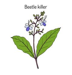 Beetle killer clerodendrum serratum medicinal vector