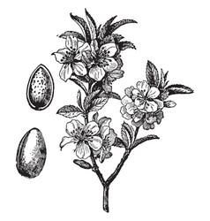 Almond vintage vector