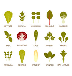 green salad leaves isolated on the white vector image