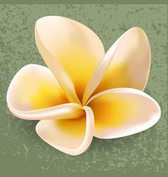 plumeria or frangipani flower vector image