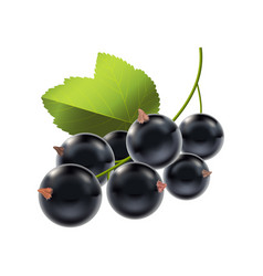 realistic detailed ripe black berry currant vector image vector image