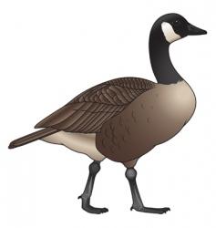 canada goose vector image
