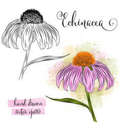 botanical art watercolor echinacea flower vector image