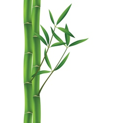 bamboo brunches vector image