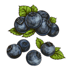 Blueberries bilberry vector