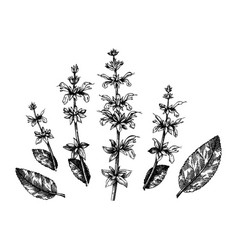 hand sketched salvia botanical leaves and f vector image