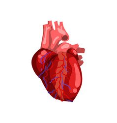 Human heart internal organ anatomy vector