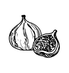 Ink drawing fig vector