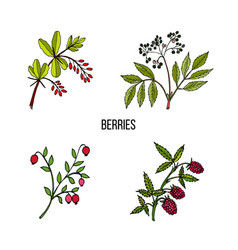 vintage collection of hand drawn wild berries vector image