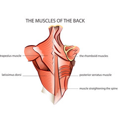 muscules of the back vector image