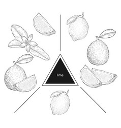 set of fruits lime lime slices and lime flower vector image