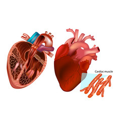 The human heart anatomy vector